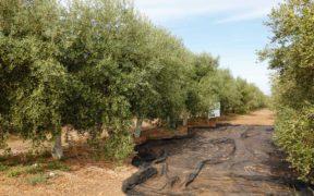 Andalusien, Basilippo, Oliven, Olivenbaum, Olivenoel, Olivenplantage, Spanien, Hacienda Merrha, Sevilla, Gold Award,
